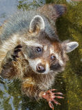 raccoon image stock