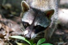 raccoon fotografia stock libera da diritti