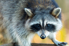 raccoon Stock Foto's