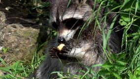 raccoon сток-видео