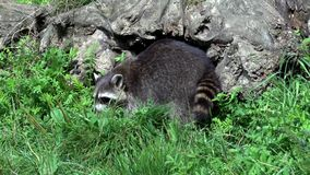 raccoon stock videobeelden