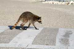 Raccoon. A wild raccoon crossing a street stock images