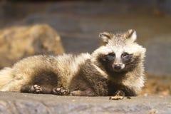 raccoon Lizenzfreies Stockfoto