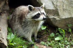 raccoon Photos stock