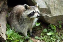 raccoon Arkivfoton