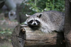 raccoon Stockbilder