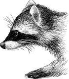 raccoon Photographie stock