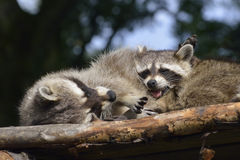 raccoon Foto de Stock Royalty Free