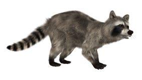 raccoon Fotos de archivo