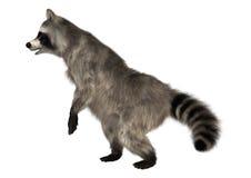 raccoon Photographie stock libre de droits