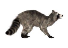 raccoon Image stock