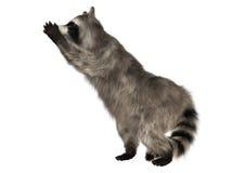 raccoon Photos libres de droits