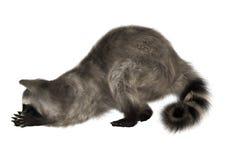 raccoon Photo stock