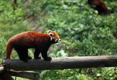 raccoon Stockfoto