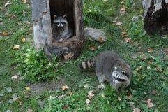 raccoon Royalty-vrije Stock Afbeeldingen