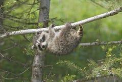 raccoon Arkivbild