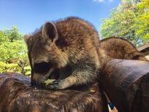 raccoon Lizenzfreie Stockfotografie