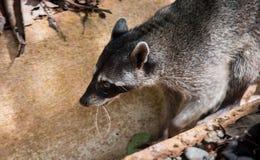 raccoon Obraz Stock