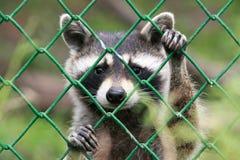 raccoon Стоковое Изображение RF
