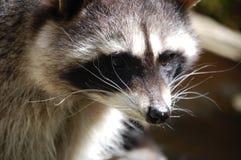 Raccoon Stock Photos