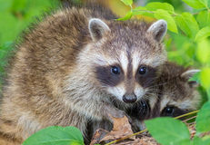 raccoon Obraz Royalty Free