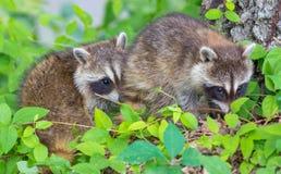 raccoon Lizenzfreie Stockbilder