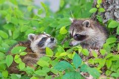 raccoon Stockfotografie