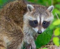 raccoon Stockbild