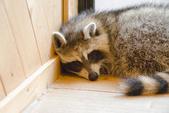 raccoon Zdjęcie Stock