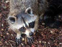 raccoon Photo stock
