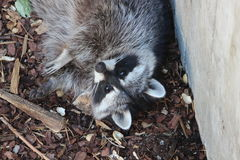 raccoon fotografia de stock