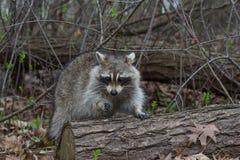 raccoon Images libres de droits
