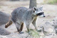 raccoon foto de archivo libre de regalías