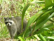 Raccoon 8 Royalty Free Stock Photo