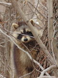 raccoon Fotografia Stock