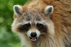 Raccoon. Portrait of a raccoon (Procyon lotor Stock Image