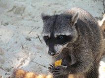 raccoon Fotografía de archivo libre de regalías