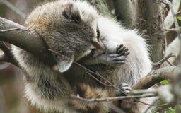 raccoon Стоковые Фотографии RF