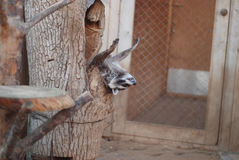 raccoon Immagini Stock