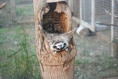 raccoon Immagine Stock