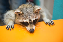raccoon fotografie stock