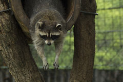 raccoon Stock Foto's