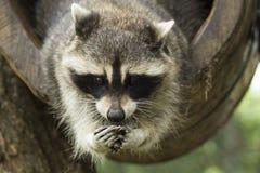 raccoon Royalty-vrije Stock Fotografie