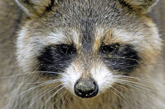 Raccoon. A wild raccoon that took a liking to me Royalty Free Stock Photo