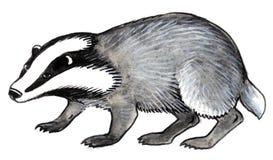 серый raccoon Стоковые Фотографии RF