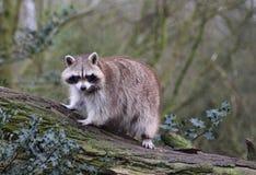 raccoon Stock Afbeeldingen