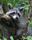 Raccoon Fotografia de Stock Royalty Free