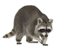 Raccoon (9 meses) - lotor do Procyon foto de stock