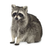 Raccoon (9 meses) - lotor do Procyon Imagem de Stock Royalty Free