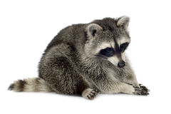 Raccoon (9 meses) - lotor do Procyon Fotos de Stock Royalty Free